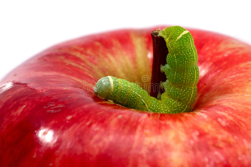 Worm (Orthosia Cerasi) on apple. Worm (Orthosia Cerasi) on a red apple royalty free stock photo