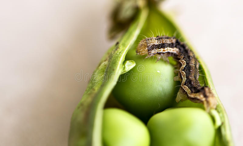 Worm on a Pea. A close up of a worm strolling on a pea stock photography
