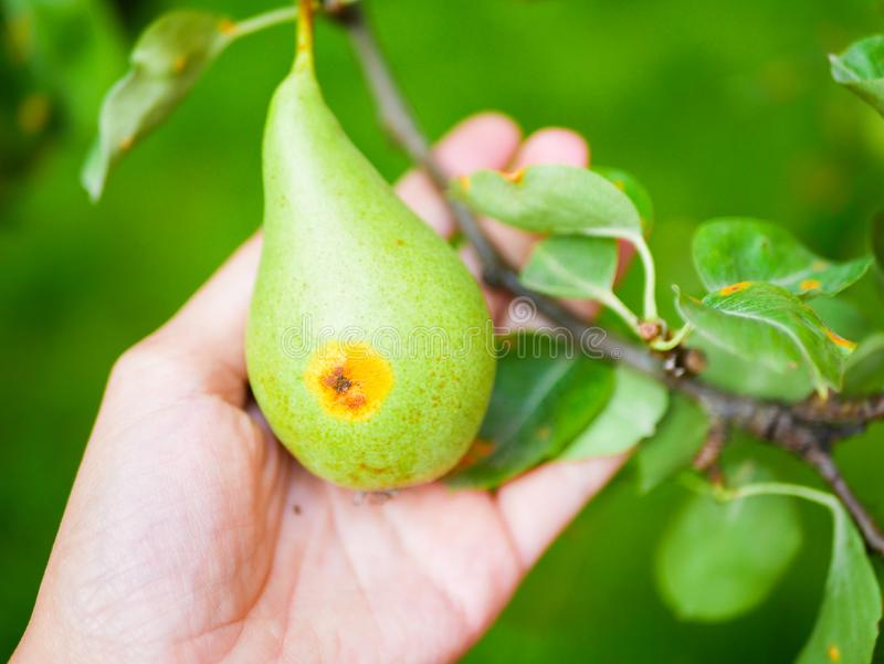 Worm pear in the hand. the worm got into a pear on a branch. holding in hand stock image