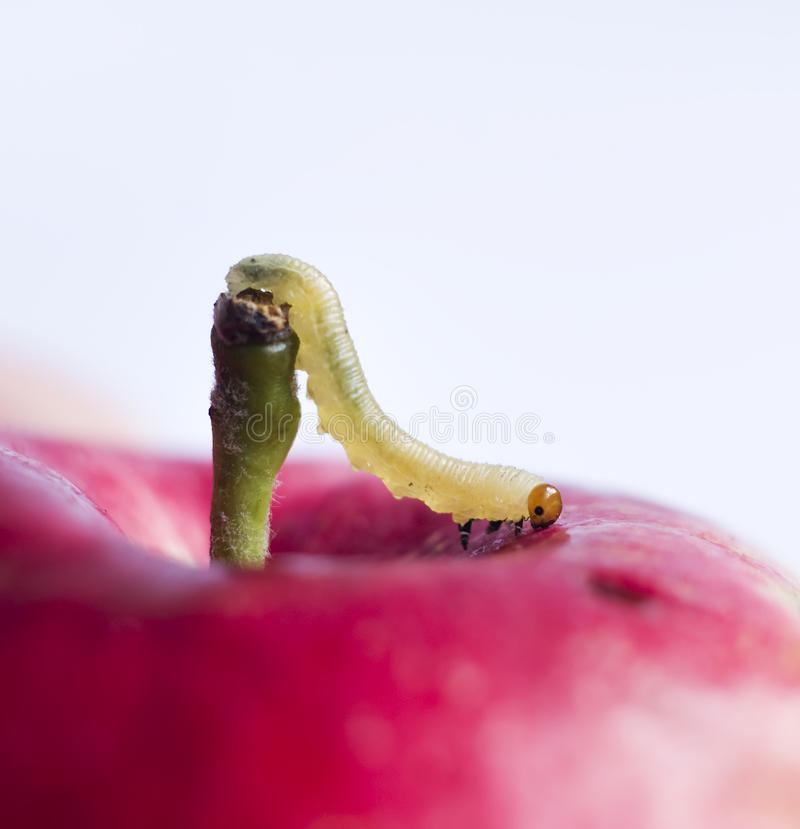 Worm on surface of red apple stock photo