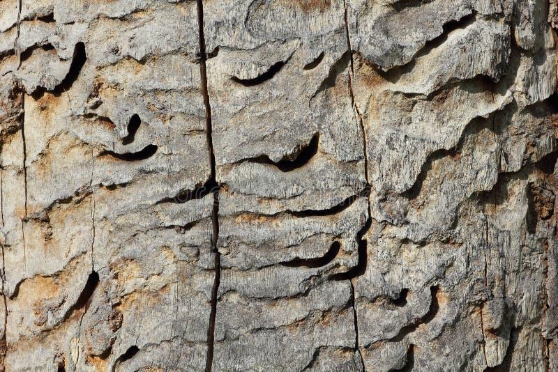 Wormholes of the great capricorn beetle, Cerambyx cerdo royalty free stock photo