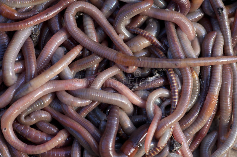 Worms royalty free stock photo
