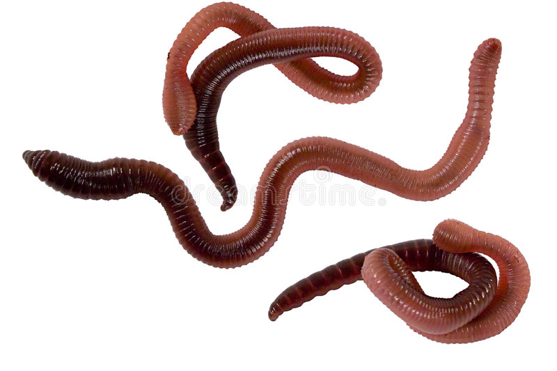 Worms. Isolated earth worms Shot with a Canon 20D At Native resolution of 3504X2336 and has not been upsampled