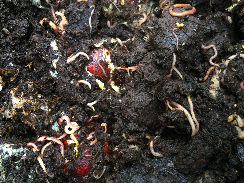 Worms eat garbish in compost stock photography