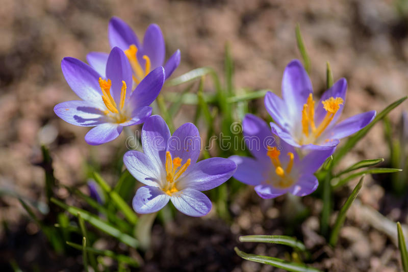 Worms eye view of three tiny purple crocus blooms in early spring sunlight. Low angle ground level perspective of little purple spring flowers popping up from stock photo
