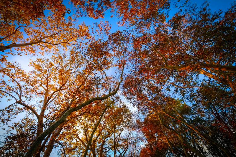 Worms Eye-view of Trees Under the Blue Sky royalty free stock photos