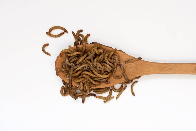 Worms, Meal worms on wooden spoon on white background. larvae of the beetle Tenebrio molitor.  royalty free stock images