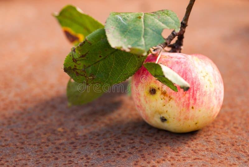 Wormy äpple med sidor på det rostiga arket Copyspace arkivbilder