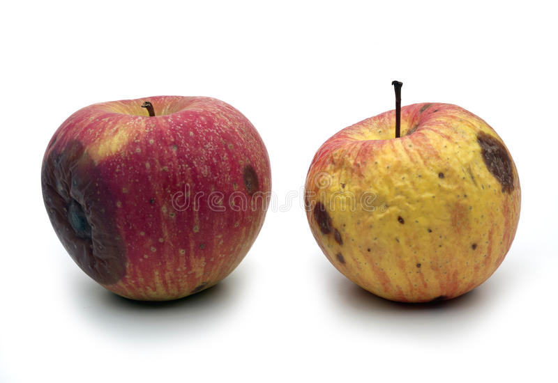 Wormy apples. Two wormy apples on a white table stock images