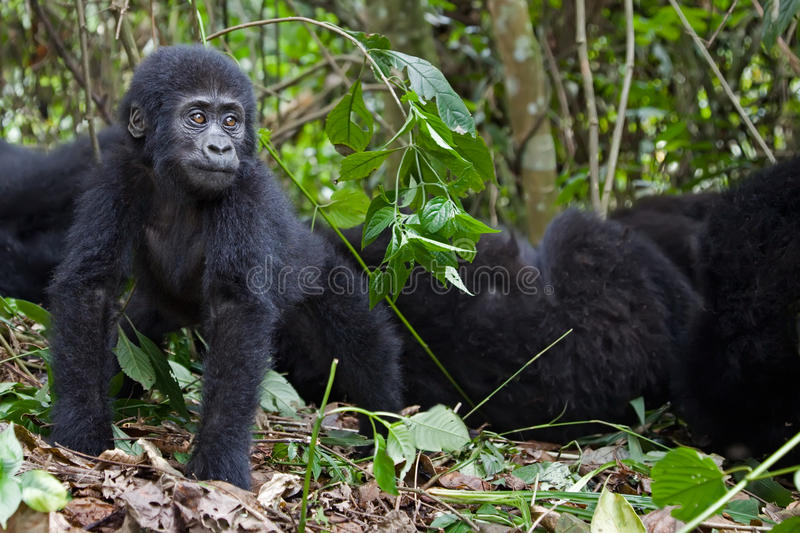 Download Worried stock photo. Image of bush, forest, africa, beringei - 19201460