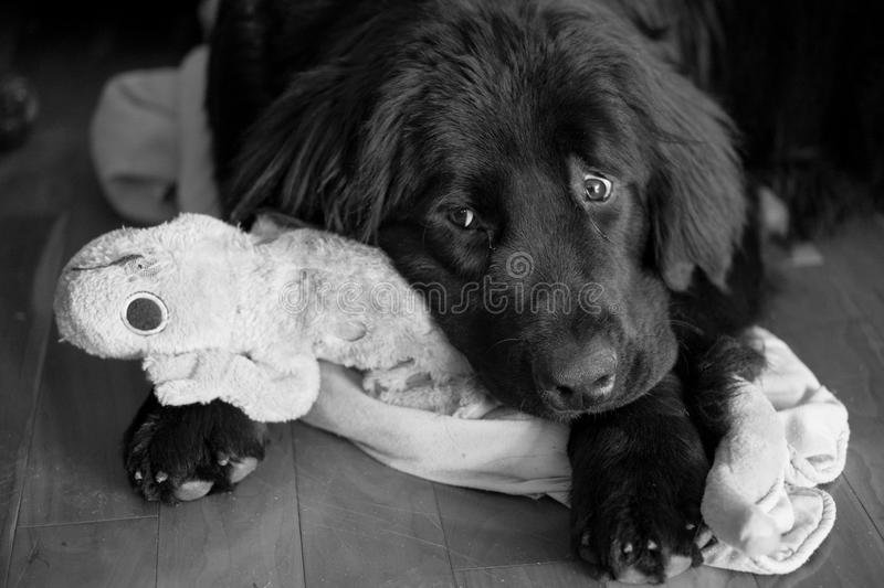 Worried expression on cute black puppy holding toy. royalty free stock image