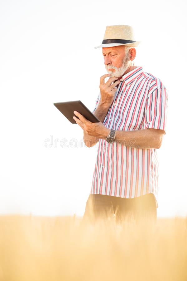 Worried senior agronomist or farmer using a tablet in wheat field. Worried gray haired agronomist or farmer using a tablet while inspecting organic wheat field stock photo