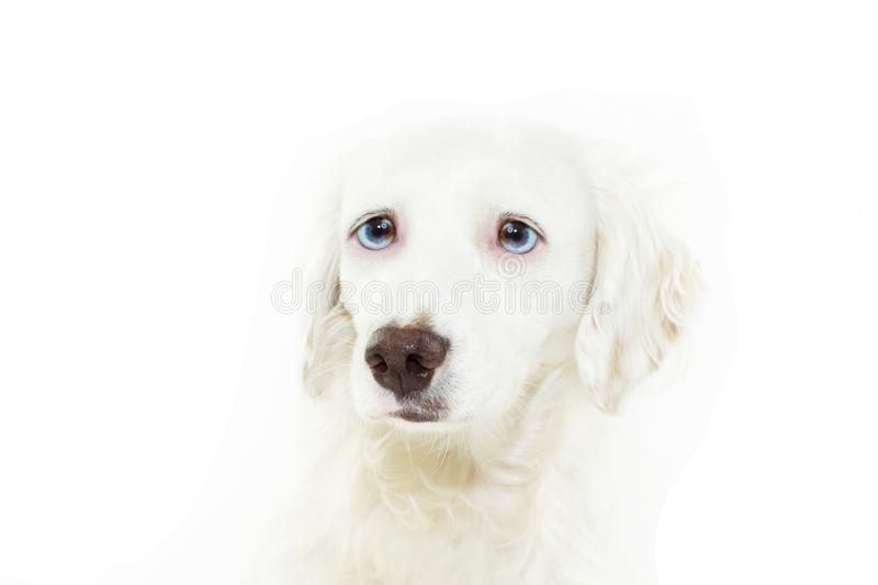 Worried and scared dog face expresion because fireworks, food,  thunderstorms, loud noises. Isolated on white background. Worried and scared dog face expresion stock photo