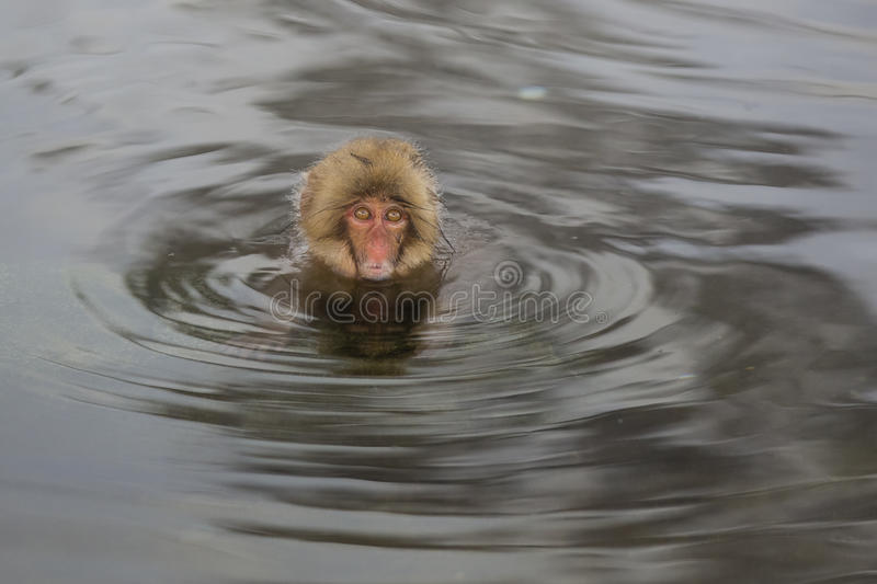 Worry: Wild Snow Monkey in a Whirlpool. This wild, young Japanese snow monkey with fuzzy brown hair, a pink face and wide eyes appears stuck and sinking in the royalty free stock images
