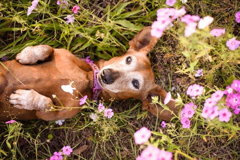 Worstjehond in een flard van purpere bloemen royalty-vrije stock foto's