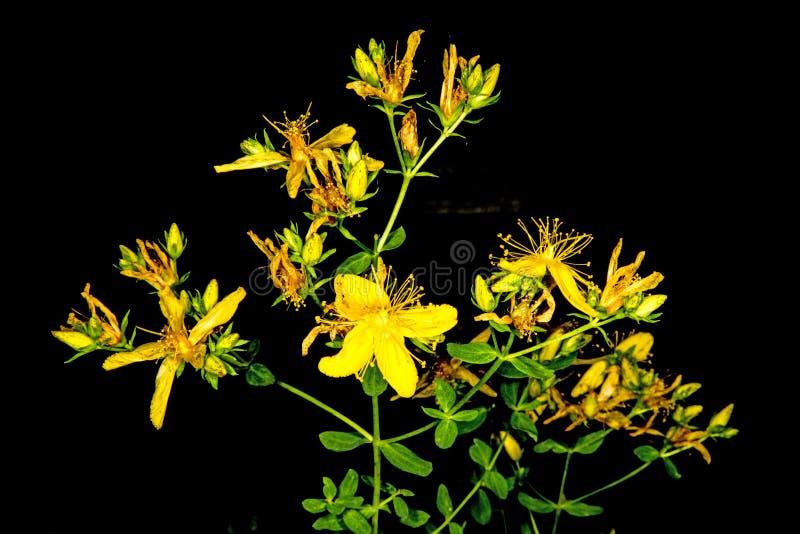 Wort de St John, planta medicinal com flor fotografia de stock
