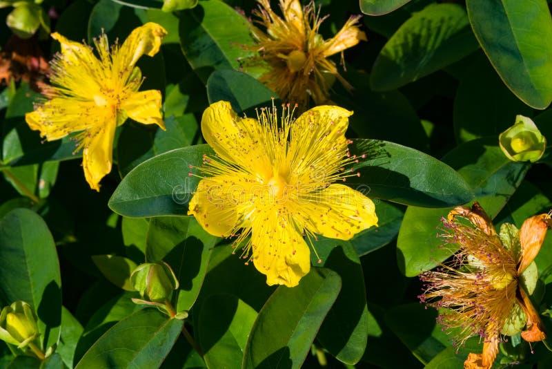 Wort do ` s de St John ou Rosa de Sharon amarela, calycinum do Hypericum, close-up da flor, foco seletivo, DOF raso imagem de stock royalty free
