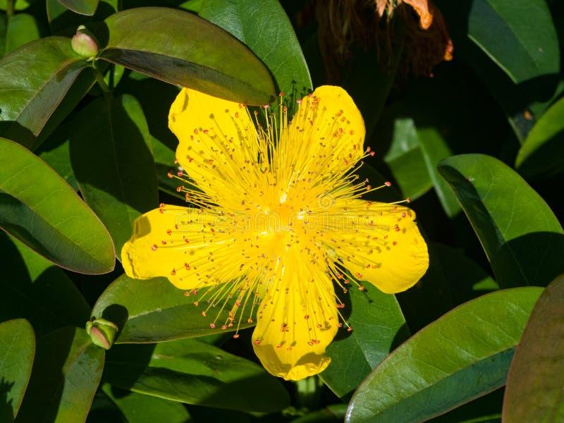 Wort do ` s de St John ou Rosa de Sharon amarela, calycinum do Hypericum, close-up da flor, foco seletivo, DOF raso fotos de stock royalty free