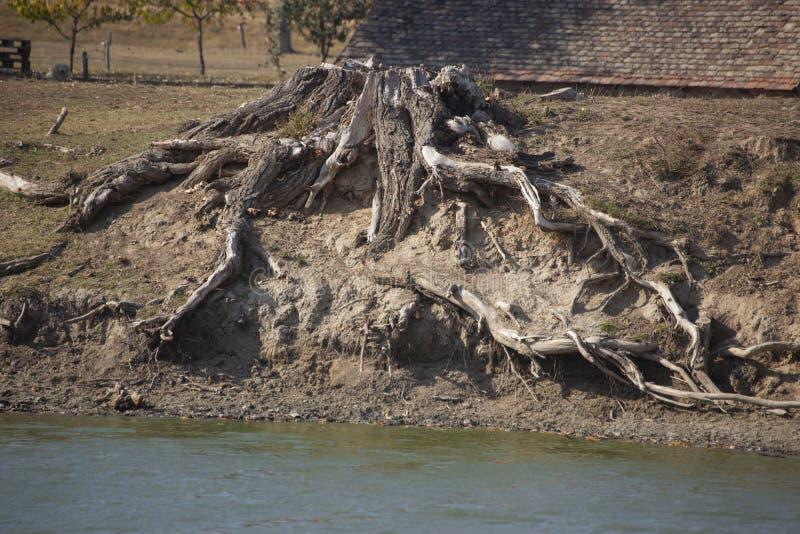 Wortel van de oude boom bij het meer royalty-vrije stock fotografie