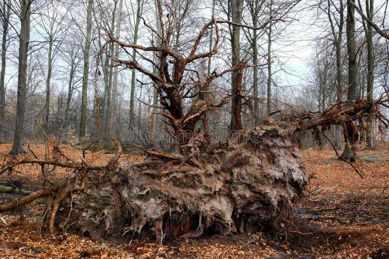 Wortel van een gevallen boom royalty-vrije stock afbeelding