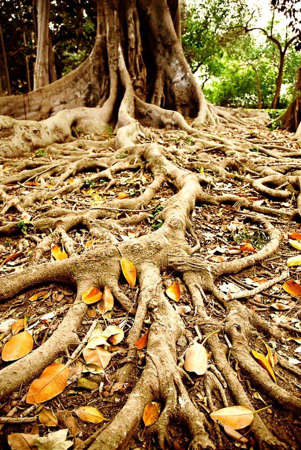 Wortel van grote boom stock afbeeldingen