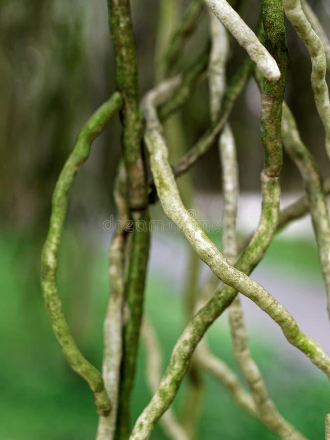 Wortel van orchideebloem met zwart uiteinde, wat als boomtak, over groene achtergrond kijken royalty-vrije stock fotografie