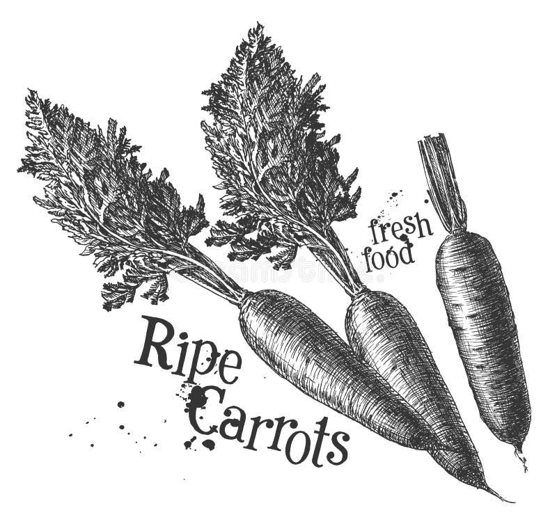 Wortelen op een witte achtergrond schets royalty-vrije illustratie