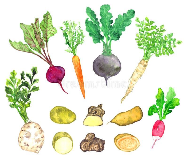 Wortelgewasseninzameling, selderie, bieten, wortel, radijs, pastinaak, aardappel, de artisjok van Jeruzalem, bataat vector illustratie