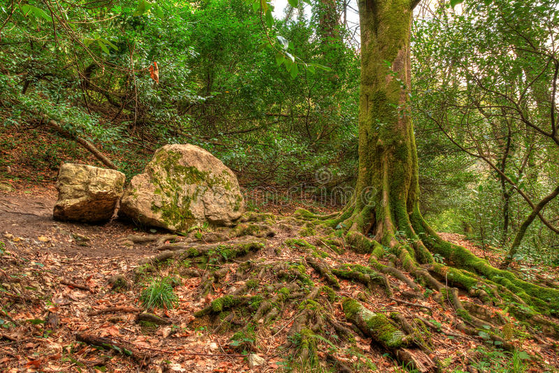 Wortels en boomstam van boom en kei in bos, HDR stock foto
