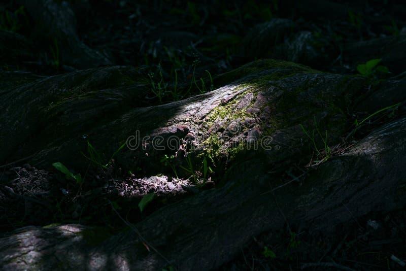 Wortels in het kreupelhout stock fotografie