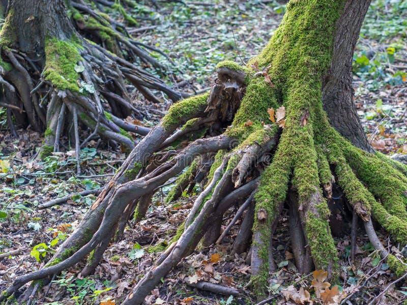 Wortels van boom met mos tijdens de herfst in Duits bos worden overwoekerd dat royalty-vrije stock afbeeldingen