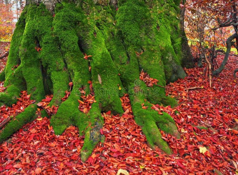 Wortels van de beuk in de herfst royalty-vrije stock afbeeldingen