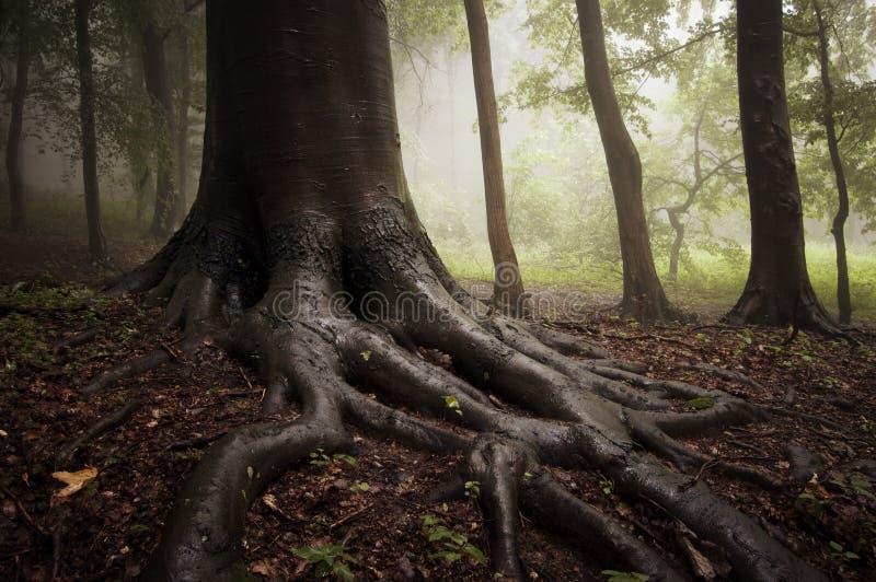 Wortels van een boom in een nevelig bos royalty-vrije stock foto's