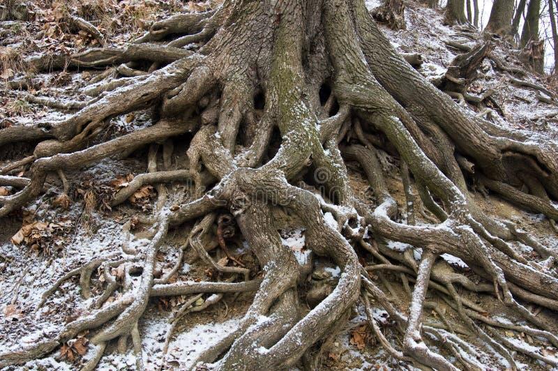 Wortels van een boom ter plaatse stock foto