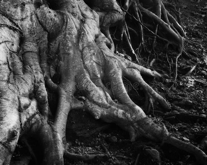 Wortels van een de ouderwetse bergboom royalty-vrije stock fotografie