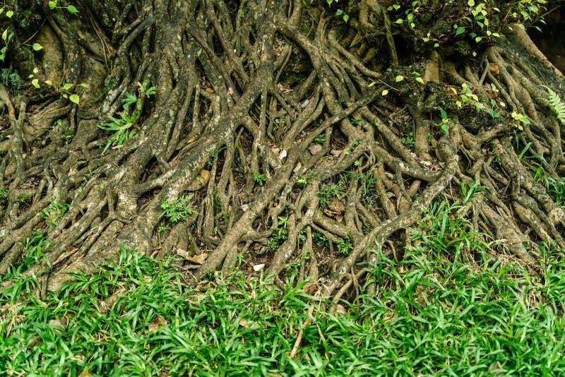 Wortels van grote boom en groen gras stock foto