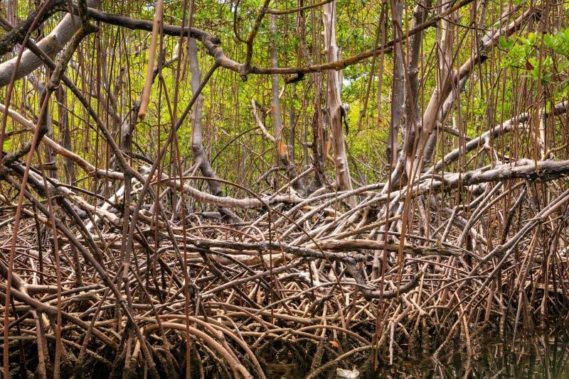 Wortels van mangrovebomen op de waterrand Cayoarena, Punta Ruc stock foto's