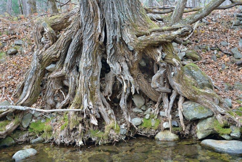 Wortels van oude boom 3 royalty-vrije stock afbeeldingen