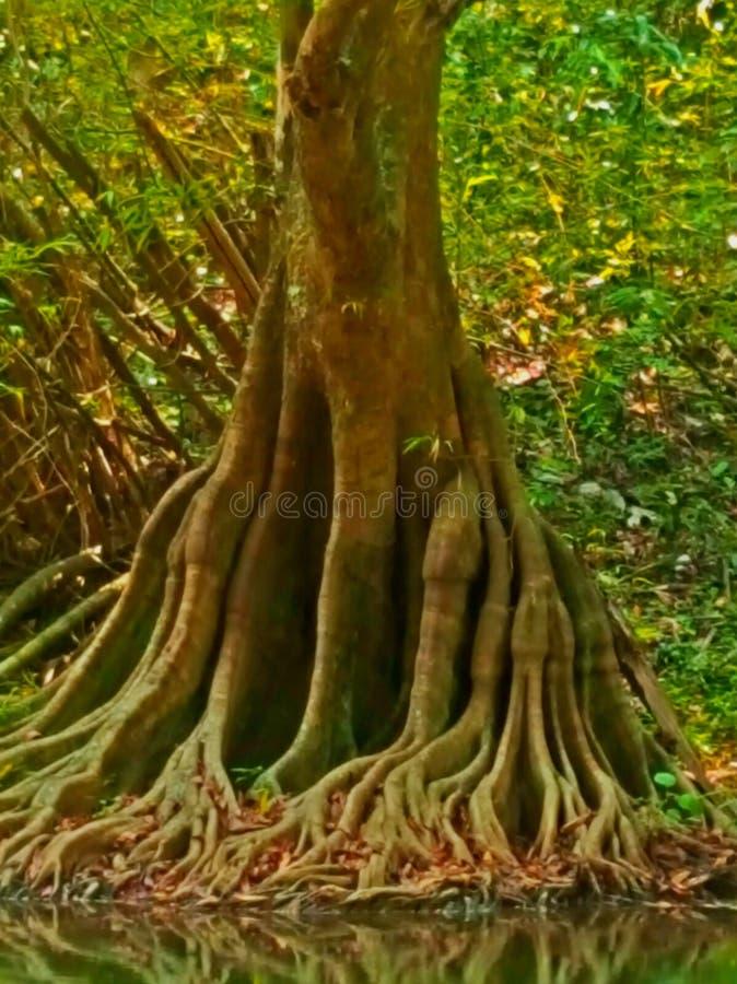 Wortelstructuur van Banyan-Boom royalty-vrije stock foto's