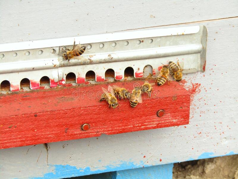 Worth of bees in the hive. At the beginning of the pollination season, they prepare for flight stock image