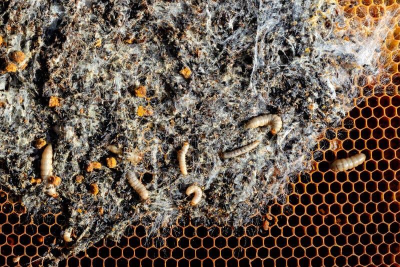 Wosku ćma larwy na infekującym pszczoły gniazdeczku rodzina pszczoły są chore z wosku ćma Okropna wosk pszczoły rama jedząca obok zdjęcie stock