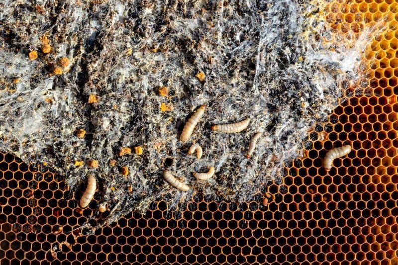 Wosku ćma larwy na infekującym pszczoły gniazdeczku rodzina pszczoły są chore z wosku ćma Okropna wosk pszczoły rama jedząca obok obraz stock
