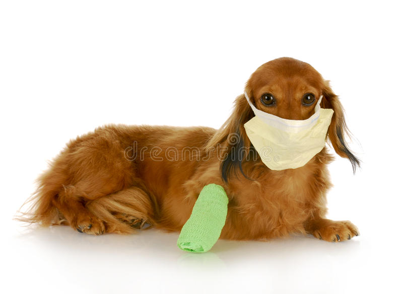 Wounded dog. Adorable dachshund with wounded leg wearing hospital mask with reflection on white background royalty free stock photography