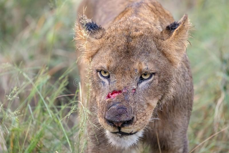 Wounded Lion Stock Images - Download 75 Royalty Free Photos