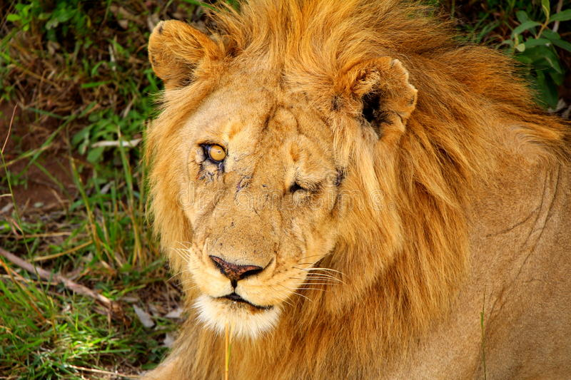 Wounded Lion royalty free stock images
