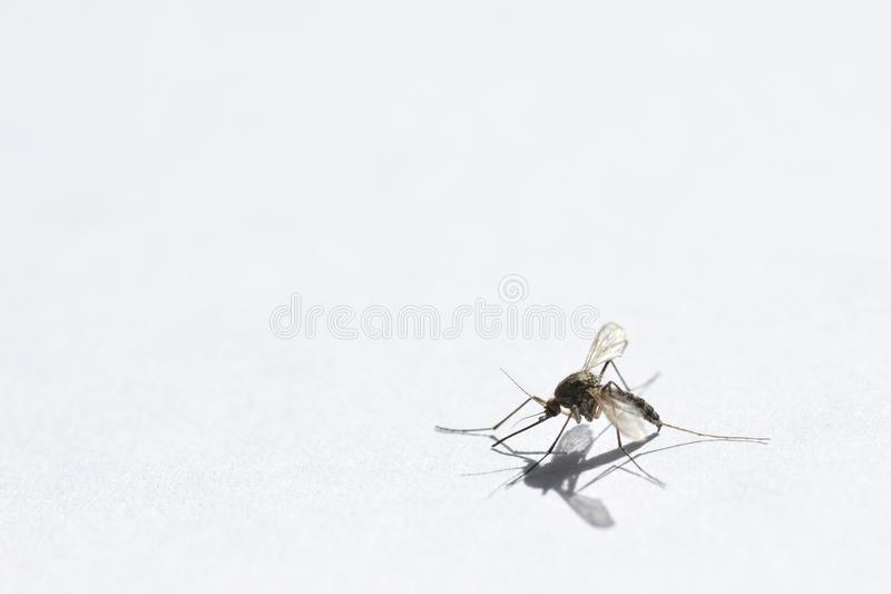 Wounded mosquito creeps from danger on a white background close-up, copy space royalty free stock photography