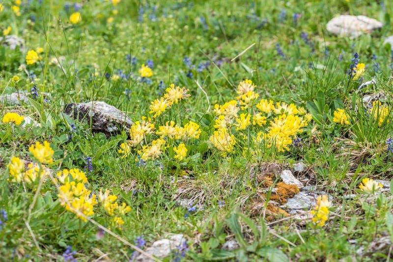 Woundwort στις Άλπεις, Αυστρία στοκ εικόνα