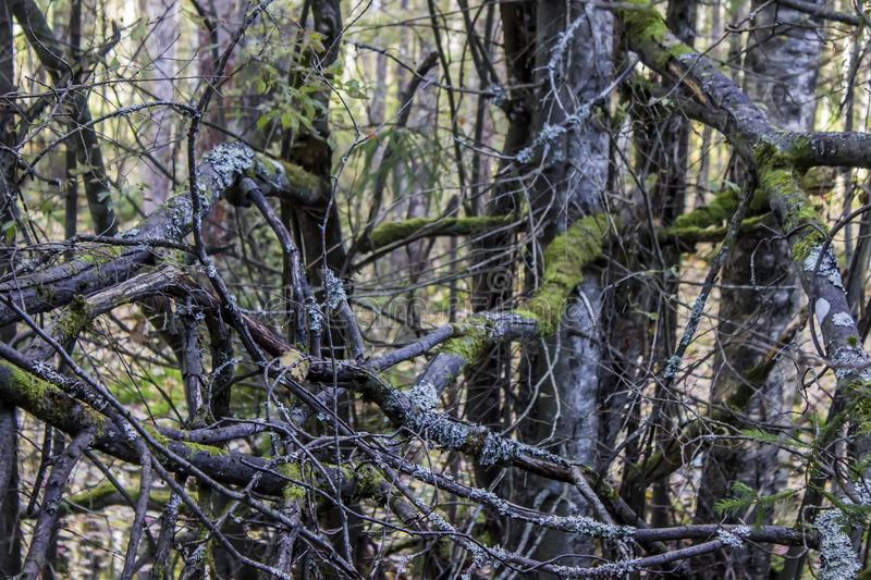 Woven branches of trees with moss, in the forest. Autumn concept nature royalty free stock images