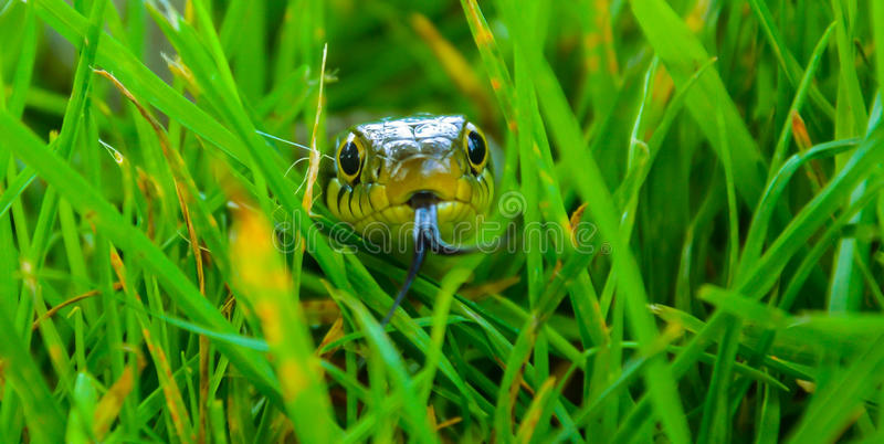WOW, look at the snake!. A close-up of a common English grass snake in the long grass royalty free stock photo