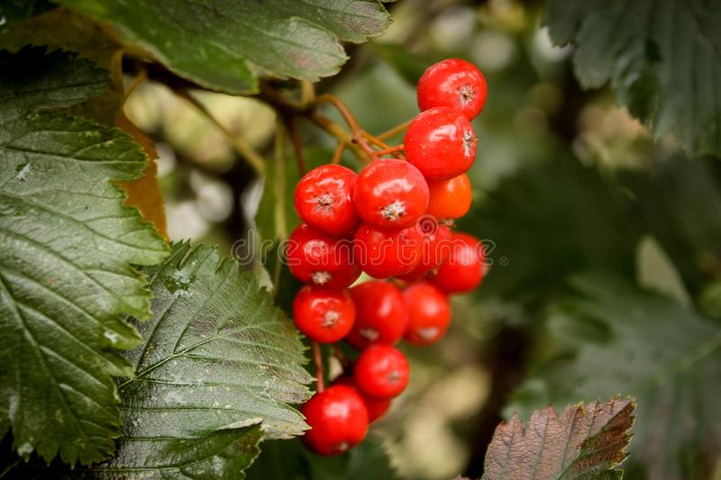 WOW! Red berries royalty free stock images